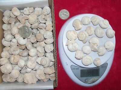 1 pound lbs of fossil sea snails. About 68 per pound.  200-146 MYO