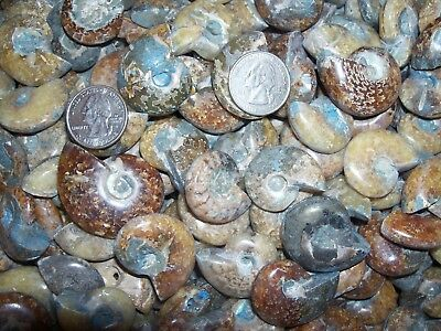 10 polished whole fossil ammonites per lot.  Over 1/4 pound lbs of ammonites.
