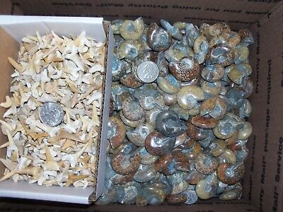 10 polished whole fossil ammonites  and 100 A grade fossil shark teeth per lot.