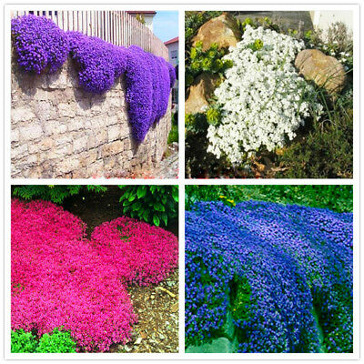200pcs Creeping Thyme Seeds Bonsai Plant Tree House Herb Garden Flower Pot Decor