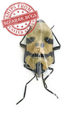 Man Face Jewel Stink Bug Eucorysses grandis Real Insect