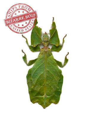 "Giant Leaf Insect Phyllium giganteum 4"" Real Green Female"