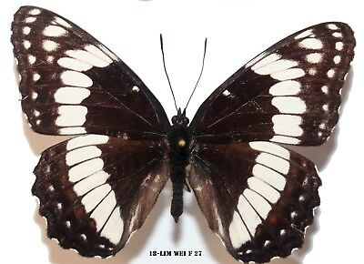 Insect Butterfly Moth Nymphalidae Limenitis weidemeyerii-Rare Female! 27