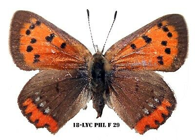 Insect Butterfly Moth Nymphalidae Lycaenidae Lycaena phlaeas Rare Female! 29