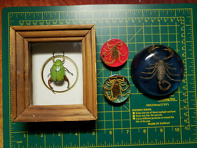 Lot of Taxidermied Insects Shiny Lime Green Leaf Chafer Beetle Frame 3 Scorpions