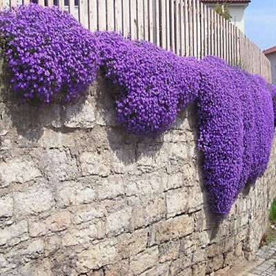 200 Romantic Purple mustard seeds home garden fence decor fantasy Purple Flower_