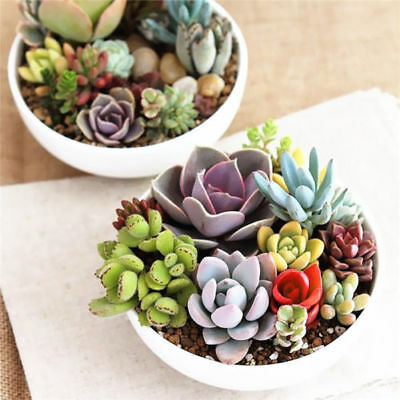 100/500PCS Mixed Succulents Seeds Lithops Potted Plant Cactus Seed Home Garden