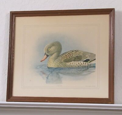 Early 1900's Cape Teal Duck - Framed Antique Lithograph Print - Original