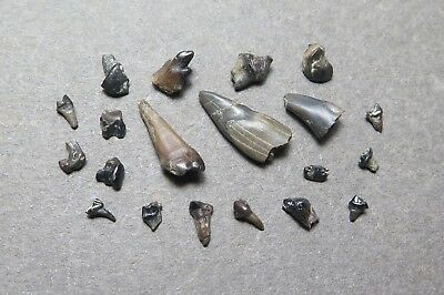 Collection of 20 Cretaceous Age Mammal Teeth, Hell Creek Formation, Montana