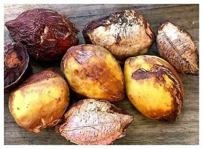 *UNCLE CHAN* 15 seeds TERMINALIA CATAPPA INDIAN ALMOND TREE Stunning Beauty