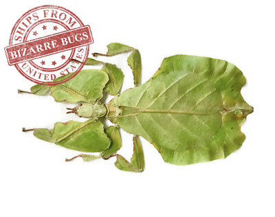 Leaf Insect Phyllium bioculatum pulchrifolium Green Female Real Insect Taxidermy