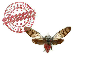 Red Devil Cicada Huechys incarnata Spread Real Insect Taxidermy