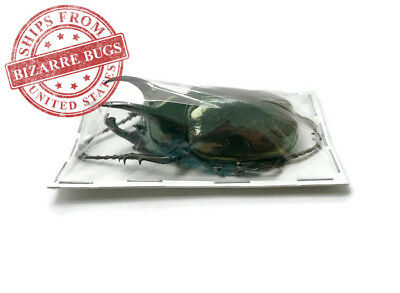 Atlas Beetle Chalcosoma atlas keyboh Male Real Insect