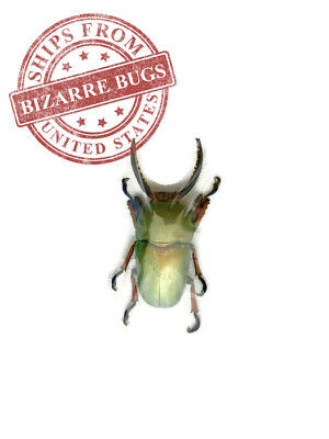 Sawtooth Stag Beetle Lamprima adolphinae Male Real Insect