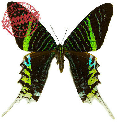 Green-banded Urania Moth Urania leilus Real Insect Folded