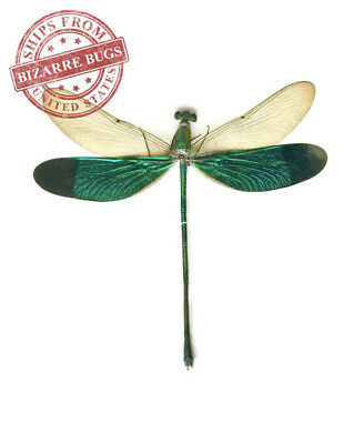Stream Glory Damselfly Neurobasis chinensis Spread Male Real Insect Taxidermy