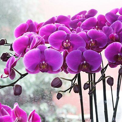 50 Grains Phalaenopsis Seeds Butterfly Orchid Decoration Potted Flower Seeds S3