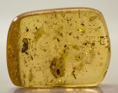 Copal polished young amber with insects and plant inclusions Colombia 39x29x16mm