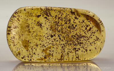 Copal polished young amber with insects and plant inclusions Colombia 44x24x16mm