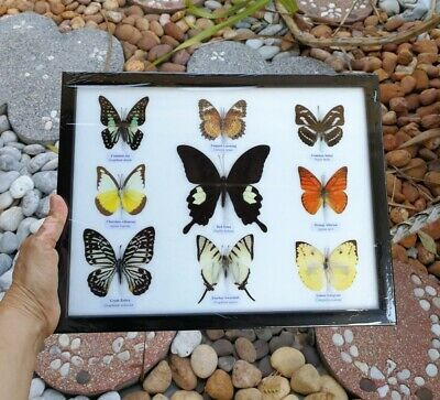 Real 9 Mix Butterfly Taxidermy Rare Frame Display Mounted Insect Collectible # 3