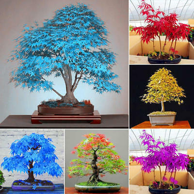 Multi-color Maple Bonsai Tree Seeds Beautiful Indoor Bonsai Plants Seeds Potted