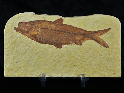 4.1 In Knightia Eocaena Fossil Fish Green River Formation Wy Eocene Free Stand