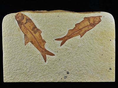 2 Two 3.5 In & 3.1 In Knightia Eocaena Fossil Fish Green River Formation Wyoming
