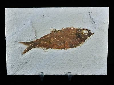 4.5 Inches Knightia Eocaena Fossil Fish Green River Formation Eocene Free Stand
