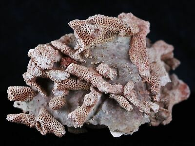 *** Xl Thomnopora Sp Coral Fossil Coral Reef Devonian Age New Find Payson Az ***