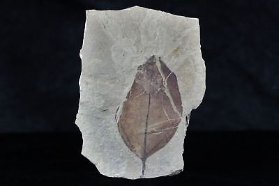 Rare Highly Detailed Ocotea Coloradensis Fossil Plant Leaf 54 Million Years Old