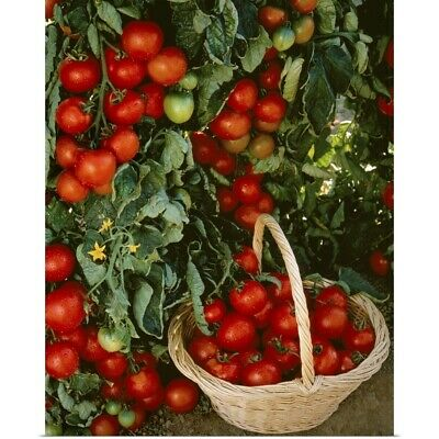 Poster Print Wall Art entitled Fresh market tomatoes on the vines and in a