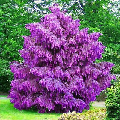 100PCS Purple Pinus Seeds Chinese Bonsai Tree Pine Seeds Garden Perennial HI