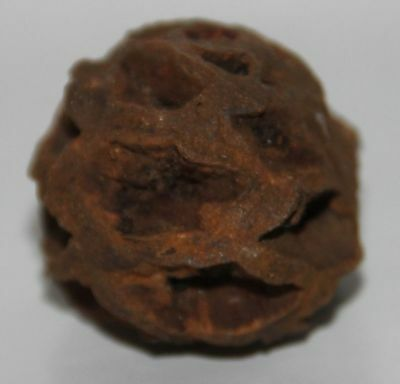 Mini META SEQUOIA PINE CONE FOSSIL - DINOSAUR AGE CRETACEOUS HELL CREEK Stunning