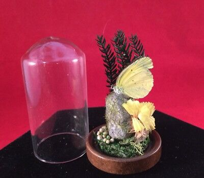 #11 - Taxidermy Entomology Miniature Victorian Style Small REAL Butterfly Dome