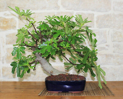 Bonsai di Fico (40)