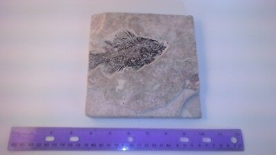 FISH FOSSIL Priscacara (5 inch)  from  GREEN RIVER, WYOMING Eocene Era