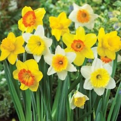 100x Daffodil Bulbs MIX * Daffodils Narcissus CLEARANCE LIMITED TIME! MIXED SALE