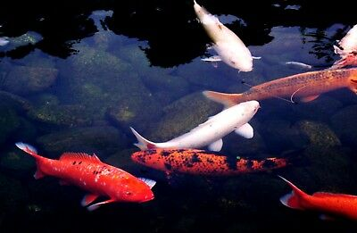 Digital Photo Picture Image - Koi Fish Pond- Free Shipping