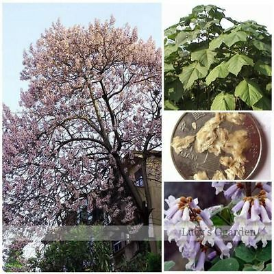 200pcs paulownia tree seed New forest tree seeds Aromatic Plant