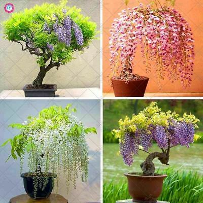 10pcs Wisteria Red Flower Wisteria Bonsai Seeds Mini Potted Tree Indoor Ornament