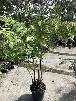 Collectors Item - Rare PNG tree Ferns  Cyathea Atrox