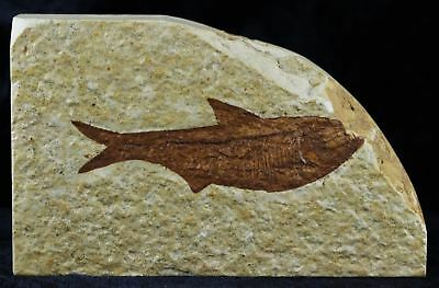 ** Diplomystus Dentatus Fossil Fish Green River Formation Wy 2.8 Inches Long **