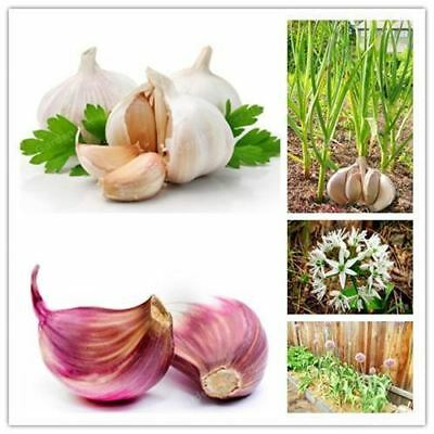 100Pcs Garlic Pure Natural And Organic Vegetable Seeds Healthy And Delicious Pun