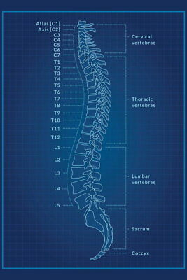 101604 Human Spine Blue Educational Chart Decor WALL PRINT POSTER AU