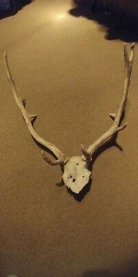 Fallow Deer Antlers Horns Goat Stag Arts Craft Goth Red Chital Capes