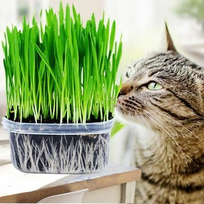 10g 3Bag Green Safety Bonsai Harvested Cat Grass Seeds Organic Including Growing