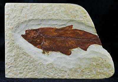 Knightia Eocaena Fossil Fish Green River Formation Wyoming Eocene Age 3.1 Inches
