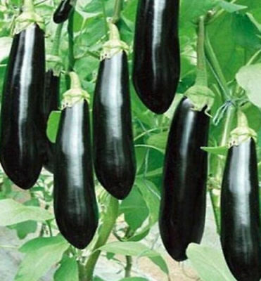 FD941 Rare Long Black Eggplant Seed Solanum Melongena Vegetable Seeds ~30Pcs