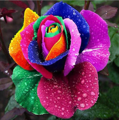 200Pcs Colorful Rainbow Rose Flower Seeds Home Garden Plants Multi-Color