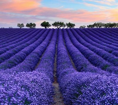 400Pcs Rare Lavender Purple Organic Untreated Herb Seeds Garden Decor New BT121